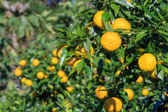 Yuzu fruits on the tree. Yuzu: Citrus junos is a kind of Japanese citrus Stock Photo
