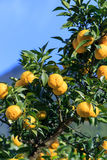 Yuzu on the tree. Yuzu: Citrus junos is a kind of Japanese citrus Royalty Free Stock Image