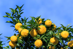 Yuzu on the tree. Yuzu: Citrus junos is a kind of Japanese citrus Royalty Free Stock Photos