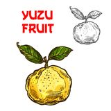 Yuzu vector sketch citrus fruit cut icon. Yuzu citrus fruit sketch icon. Vector isolated symbol of fresh whole Asian or Chinese and Japanese yuzu pomelo or junos royalty free illustration