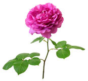 Yves piaget rose Royalty Free Stock Images