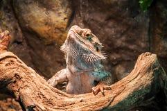 Żywa agama jaszczurka Fotografia Royalty Free