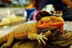 Żywa agama jaszczurka jest ubranym kowbojskiego kapelusz Zdjęcia Stock