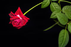 Żywa czerwieni róża z kroplami rosa na płatkach obrazy stock
