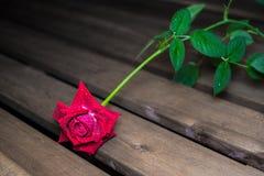 Żywa czerwieni róża z kroplami rosa na płatkach obraz royalty free