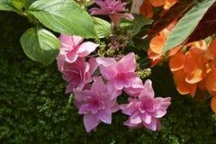 Żywa hortensja Fotografia Royalty Free