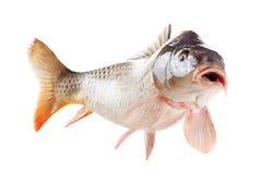 Żywa karp ryba odizolowywająca na białym tle Zdjęcia Stock