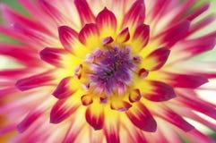 Żywa koloru żółtego i czerwieni dalia kwitnie makro- Fotografia Stock