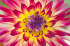 Żywa koloru żółtego i czerwieni dalia kwitnie makro- Fotografia Royalty Free