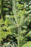 Żywe świerczyn gałązki, jaskrawe - zieleń Obrazy Stock
