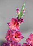 Żywi czerwieni Gladioli Zdjęcia Stock