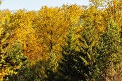 Żywi jesieni drzewa Fotografia Royalty Free