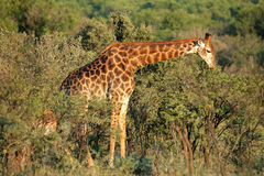 Żywieniowa żyrafa Zdjęcie Stock