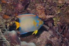 żywieniowa angelfish królowa Obrazy Stock