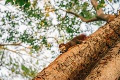 żywieniowa czerwona wiewiórka Obraz Stock