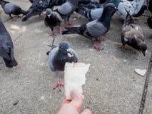Żywieniowa dzika gołąbka Zdjęcia Royalty Free