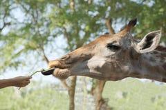 Żywieniowa żyrafa Zdjęcia Stock
