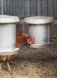 Żywieniowe karmazynki Zdjęcie Royalty Free
