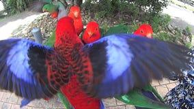Żywieniowe papugi 2 zdjęcie wideo