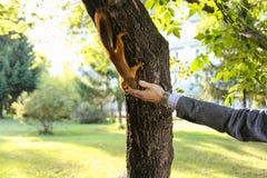 Żywieniowe wiewiórki Obraz Stock