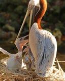 Żywieniowego czasu brązu pelikany Zdjęcie Stock