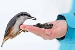 Żywieniowi głodni ptaki w zimie Bargiel bierze słonecznika Zdjęcia Royalty Free
