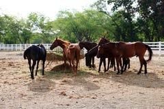 Żywieniowi konie w stajence Fotografia Stock