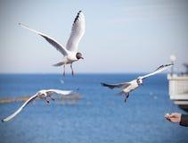 Żywieniowi ptaki, ręka z kawałkiem chleb Zdjęcia Royalty Free