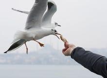 Żywieniowi seagulls Zdjęcia Stock