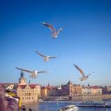 Żywieniowi seagulls, Praga, republika czech Zdjęcie Stock