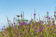 Żywieniowy Hummingbird Zdjęcie Stock