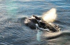 Żywieniowy humpback wieloryb w Antarctica Fotografia Royalty Free