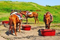 żywieniowy koni spokoju target2165_0_ obrazy royalty free