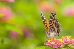 Żywieniowy Motyli szczegół Obraz Stock