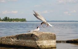 Żywieniowy przytulony ptasi frajer w dzikim - 2 Fotografia Stock