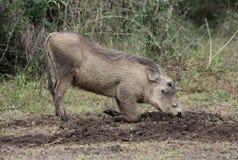 żywieniowy warthog Zdjęcie Stock