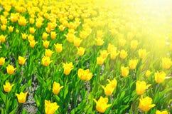 ywllow много тюльпанов стоковое фото