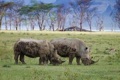 Ywo noshörning i den sjöNakuru nationalparken Arkivbild