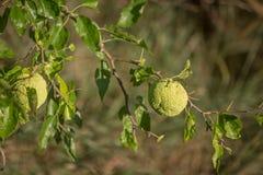 Żywopłotów jabłka - Maclura pomifera Obrazy Stock