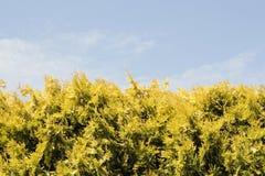 Żywopłot jedlinowi drzewa Fotografia Royalty Free