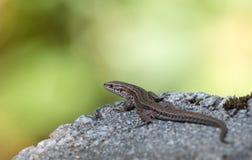 Żyworodna jaszczurka, Zootoca vivipara, odpoczywa na skale Zdjęcia Royalty Free
