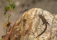 Żyworodna jaszczurka, Zootoca vivipara, odpoczywa na skale Fotografia Stock