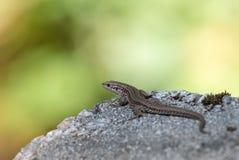 Żyworodna jaszczurka, Zootoca vivipara, odpoczywa na skale Obrazy Stock