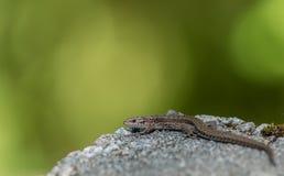 Żyworodna jaszczurka, Zootoca vivipara, odpoczywa na skale Obraz Royalty Free