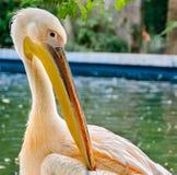 Żywy barwiony pelecanus ptak, zoo ogród Obraz Royalty Free