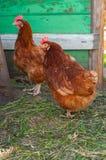 Żywy brown kurczak Fotografia Stock