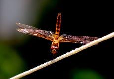 Żywy coloured dragonfly zbliżenie Zdjęcie Stock