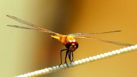 Żywy coloured dragonfly zbliżenie Obrazy Royalty Free
