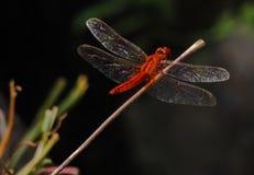 Żywy coloured dragonfly zbliżenie Obraz Royalty Free