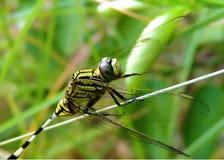 Żywy coloured dragonfly zbliżenie Obraz Stock